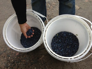 Buckets of Blueberries