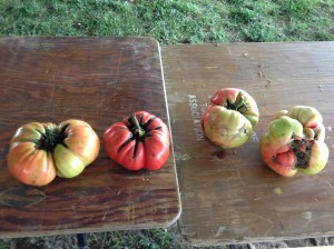 Gnarly tomatoes!